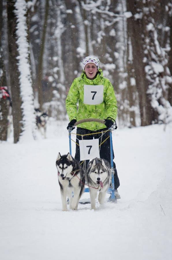 Download Raza De Perro De Trineo En Járkov, Ucrania Imagen de archivo editorial - Imagen de pets, raza: 64208594