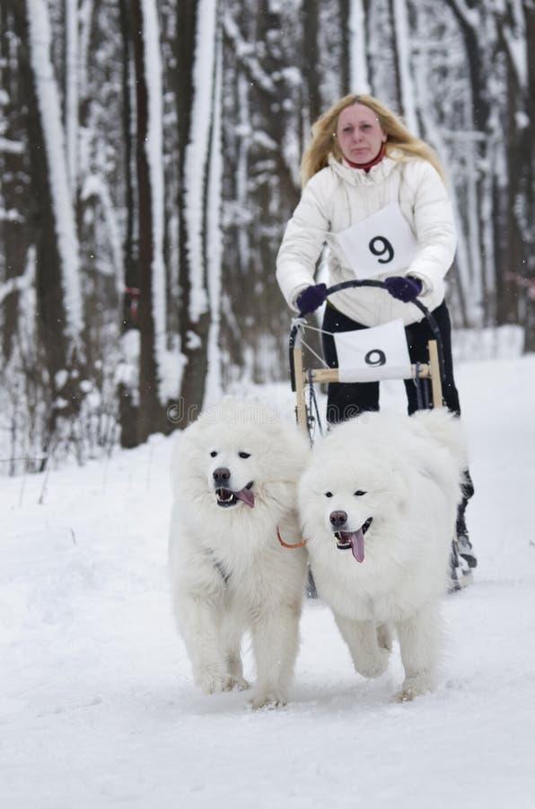 Download Raza De Perro De Trineo En Járkov, Ucrania Imagen editorial - Imagen de pets, horizontal: 64208615