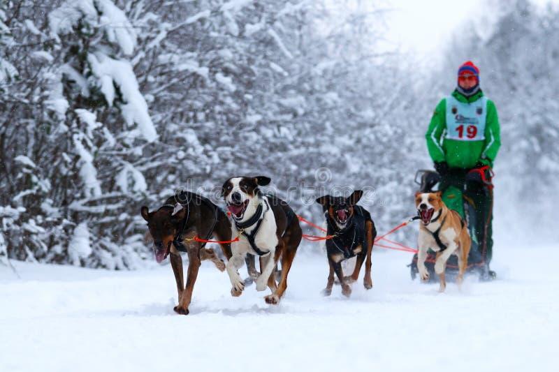 Raza de perros del proyecto imagen de archivo libre de regalías