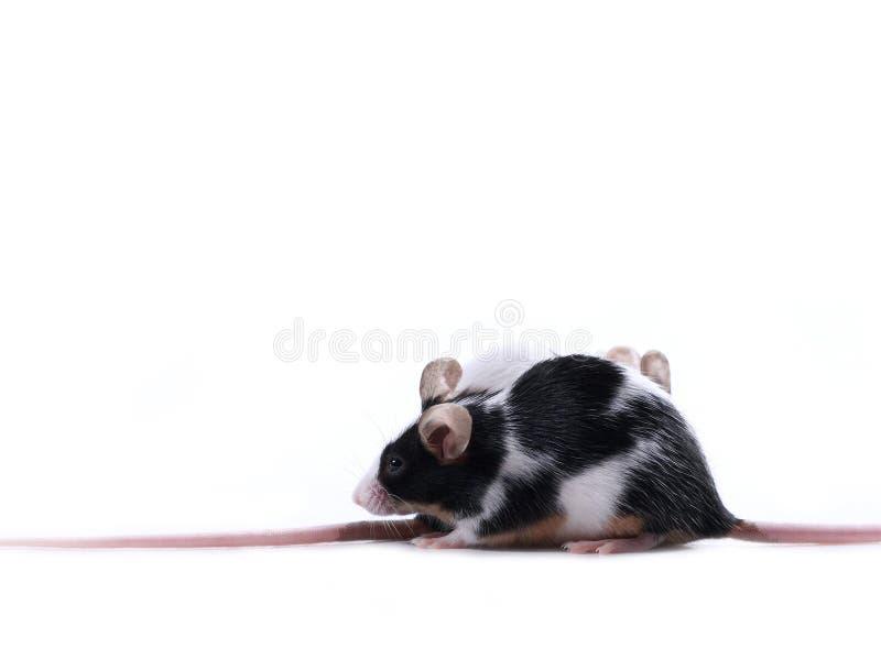 Raza de rata fotografía de archivo libre de regalías