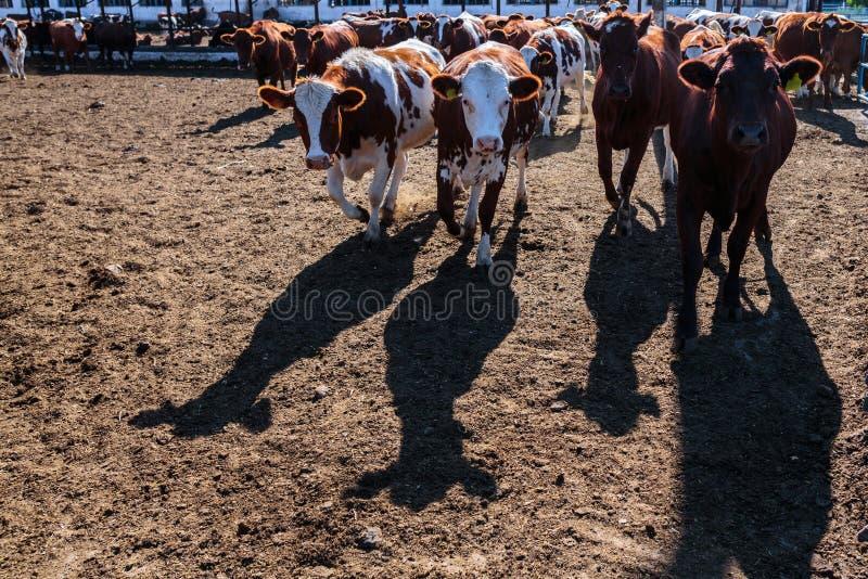 raza de vacas lecheras sin cuernos en granja del establo en alguna parte en centros imagenes de archivo