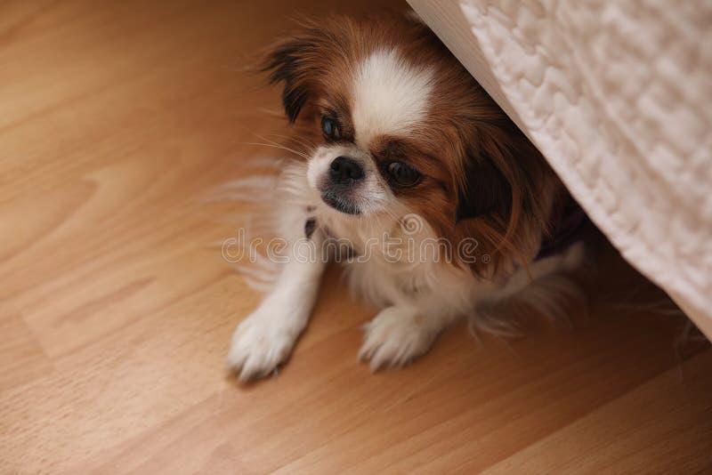 Raza decorativa de perros Un pequeño perro nacional El perro debajo del th fotos de archivo libres de regalías