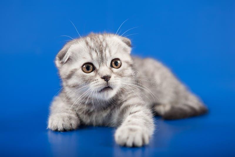 Raza del doblez del escocés del gatito foto de archivo