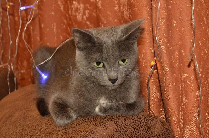 Raza del gato el azul ruso con grande, expresivo, ojos de verdes, mintiendo en el sofá en guirnalda de las luces foto de archivo libre de regalías