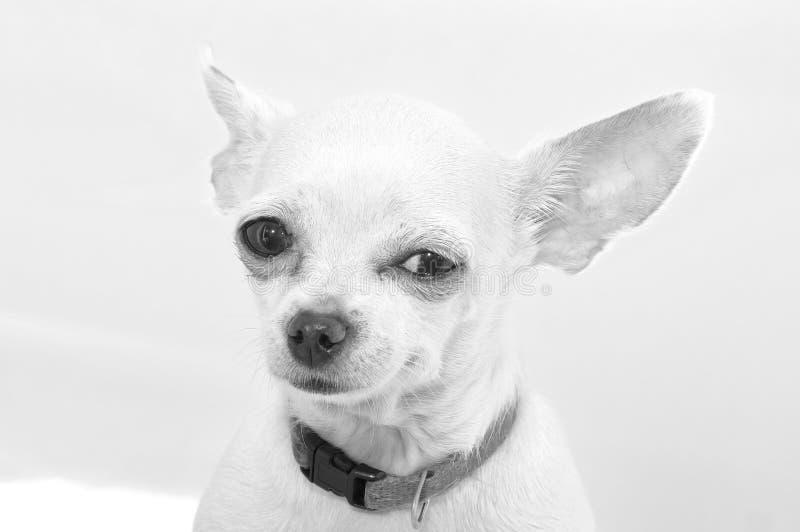 Raza del perro de la chihuahua Foto blanco y negro de Pek?n, China imagen de archivo libre de regalías