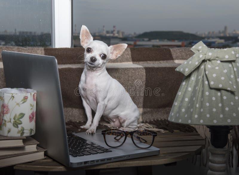 Raza del perro de la chihuahua que presenta al lado de un ordenador portátil fotografía de archivo