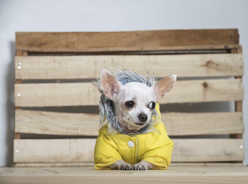 Raza del perro de la chihuahua imagenes de archivo