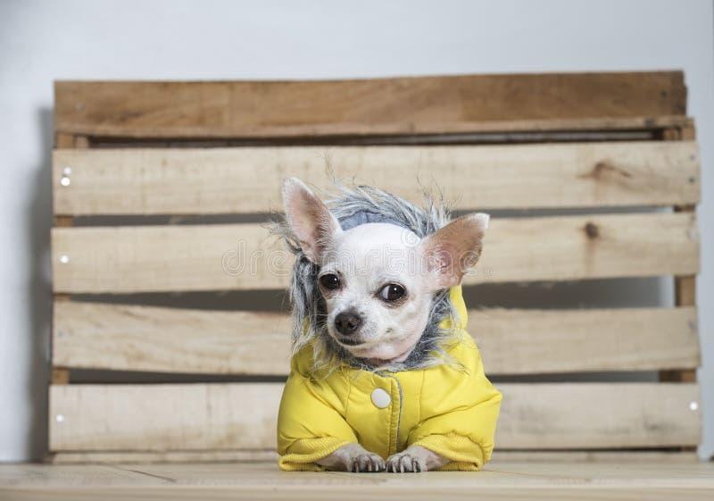 Raza del perro de la chihuahua fotos de archivo