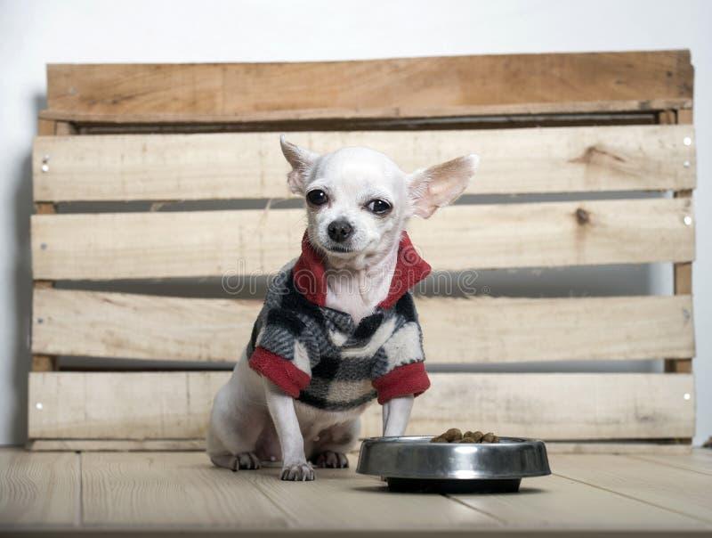 Raza del perro de la chihuahua fotografía de archivo libre de regalías