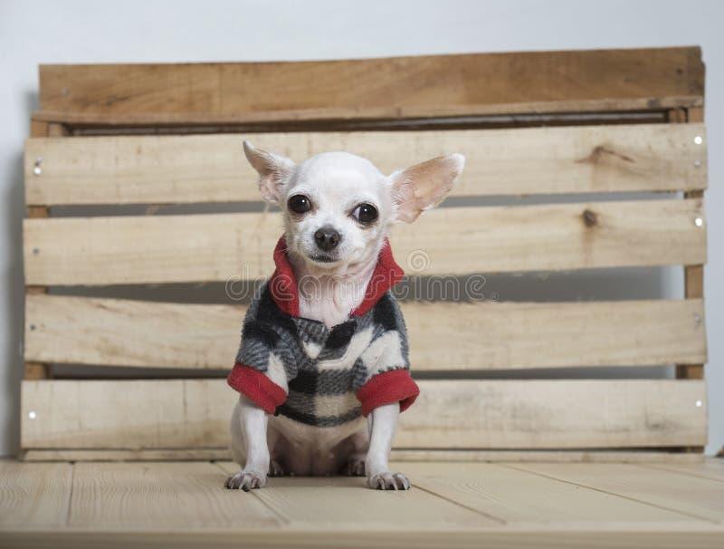 Raza del perro de la chihuahua imagen de archivo