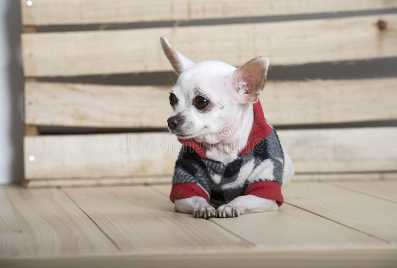 Raza del perro de la chihuahua foto de archivo libre de regalías