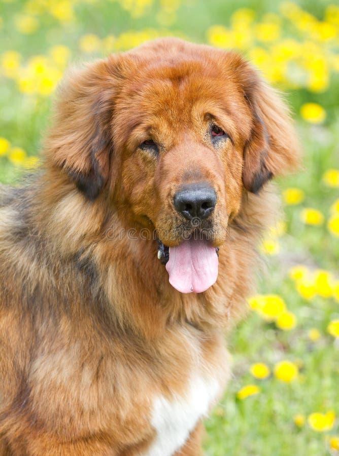 Raza del perro de Terranova fotografía de archivo libre de regalías