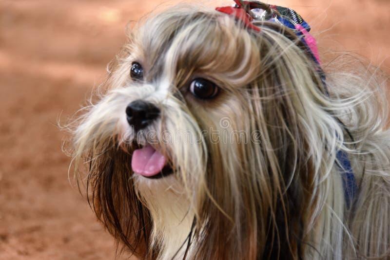 Raza del perro del origen de China del barro amasado foto de archivo libre de regalías