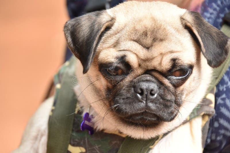 Raza del perro del origen de China del barro amasado fotos de archivo libres de regalías