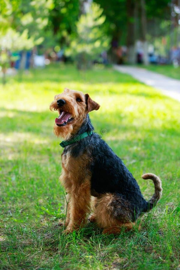 Raza del perro del terrier galés fotos de archivo libres de regalías