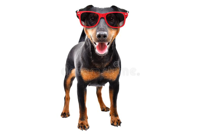 Raza divertida Jagdterrier del perro en gafas de sol rojas imagen de archivo