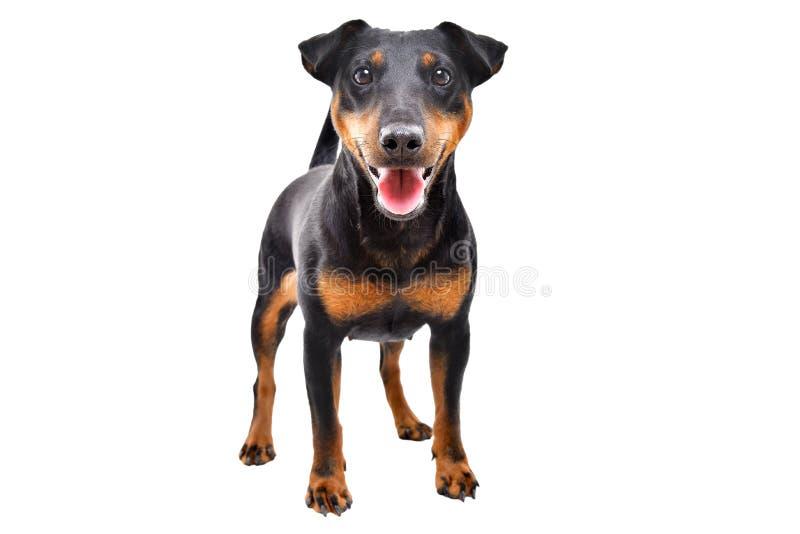 Raza divertida Jagdterrier del perro fotos de archivo libres de regalías