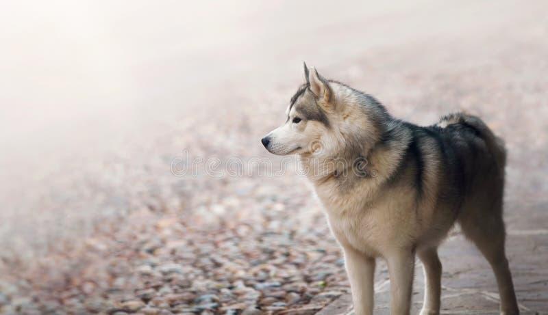 Raza fornida animal del solo perro que se coloca en foto de archivo