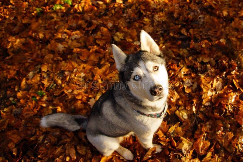 Raza fornida del perro con diversos ojos que se sientan en las hojas caidas brillantes y que miran para arriba imagen de archivo libre de regalías