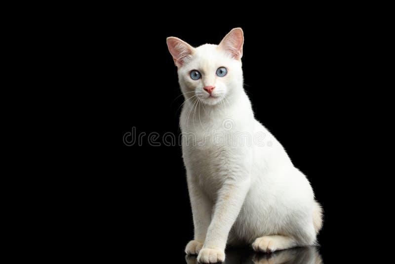 Raza hermosa sin la cola cortada Cat Isolated Black Background del Mekong de la cola imagen de archivo libre de regalías