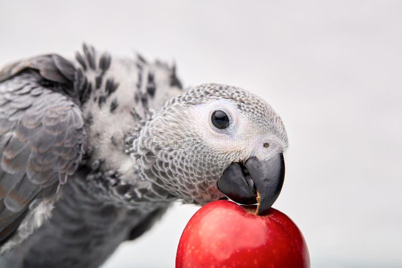 Raza manual de Jaco del polluelo que juega con una manzana foto de archivo libre de regalías