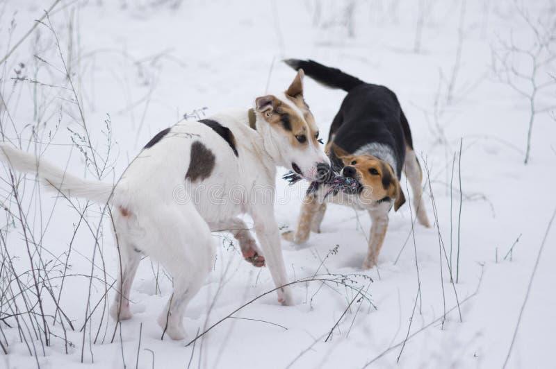 Raza mezclada blanca y perros negros que juegan con la cuerda imagen de archivo libre de regalías