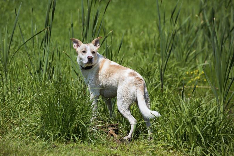 Raza mezclada Husky Labrador Retriever que corre en un prado fotos de archivo libres de regalías