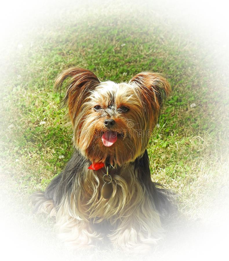 Raza pedigr? del perro del terrier de Yorkshire del perrito en la frontera del fondo del halo del blanco de jard?n del c?sped foto de archivo libre de regalías