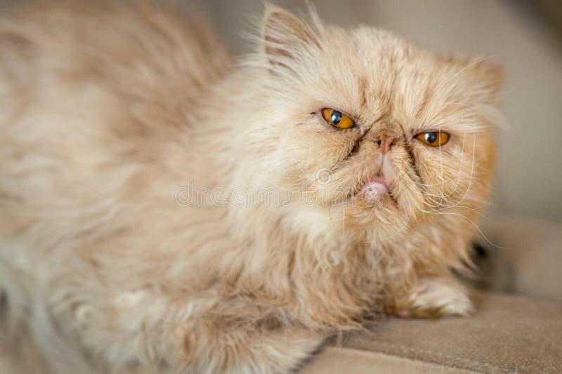 Raza persa del gato rojo en el sofá imagenes de archivo