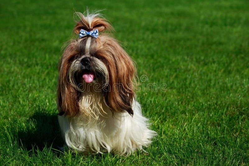Raza Shih Tzu del perro imagen de archivo