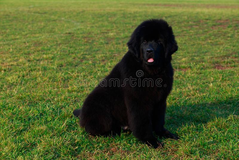 Raza Terranova del perro foto de archivo libre de regalías