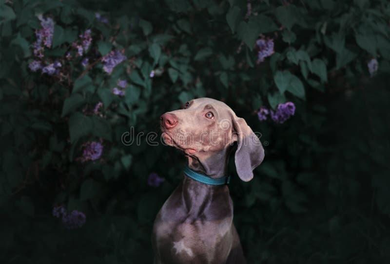 Raza Weimaraner del perro del indicador en los arbustos de lila imagen de archivo libre de regalías