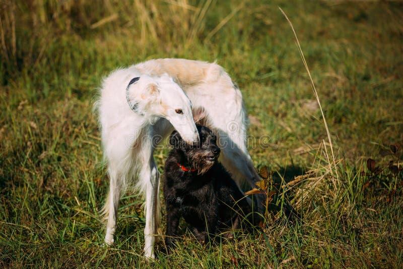 Raza y perro y blanco mezclados negros de caza fotografía de archivo