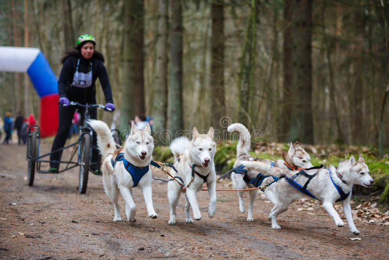 Razas de perro de trineo de la tierra firme fotos de archivo