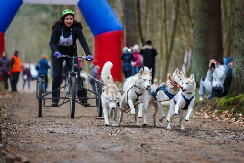Razas de perro de trineo de la tierra firme foto de archivo