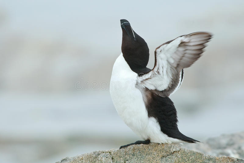 Razor-Billed Auk. Sky Pointing with Wings Spread royalty free stock image
