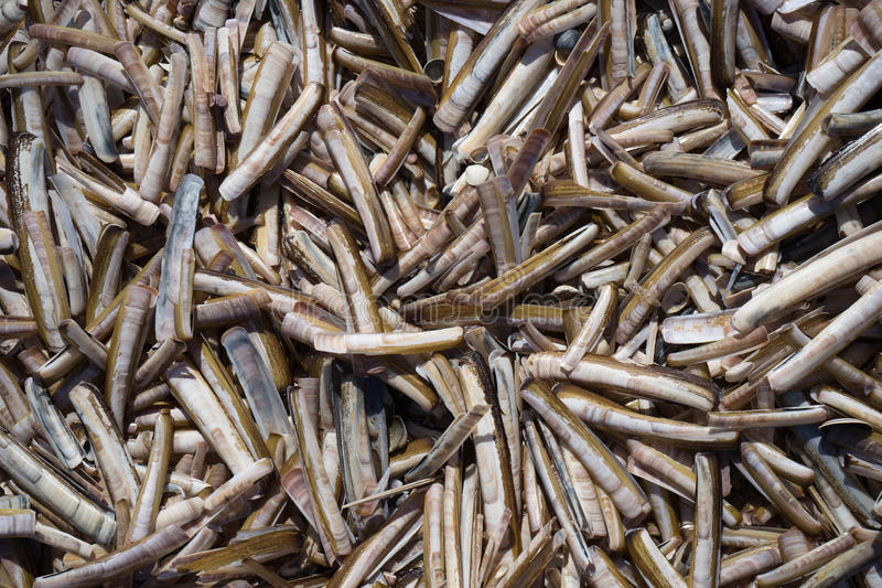 Razor Shells. The razor shell, Ensis arcuatus, also called razor or razor fish, is a bivalve of the family Pharidae. It is found on sandy beaches in Northern stock photography
