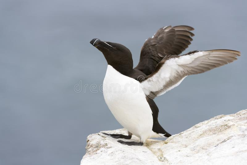 Razorbill Alca torda adult, flapping wings on rock looking over the Ocean. Razorbill Alca torda adult, standing on rock of coastal cliff, flapping wings, Great royalty free stock photos