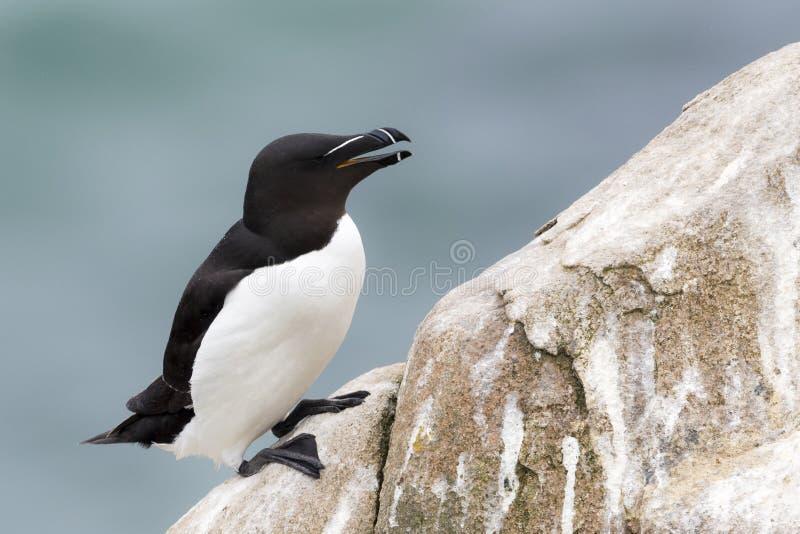 Razorbill Alca torda adult, on rock looking over the Ocean stock photo