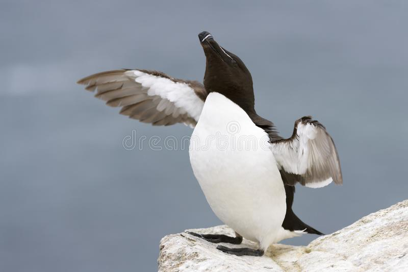 Razorbill Alca torda adult, flapping wings on rock looking over the Ocean. Razorbill Alca torda adult, standing on rock of coastal cliff, flapping wings, Great stock images
