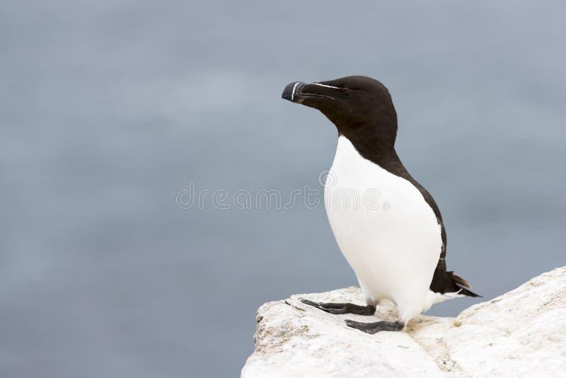 Razorbill Alca torda adult, standing on rock looking over the Ocean stock photos