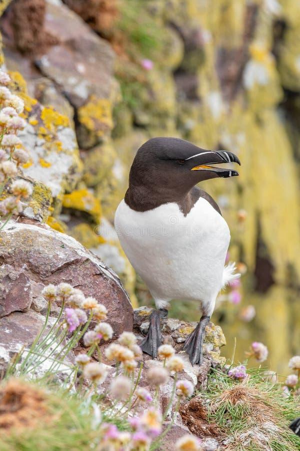Razorbill Alca torda adult standing on rock of coastal cliff S royalty free stock images