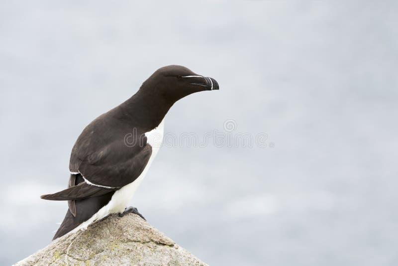 Razorbill Alca torda adult, standing on rock looking over the Ocean stock image