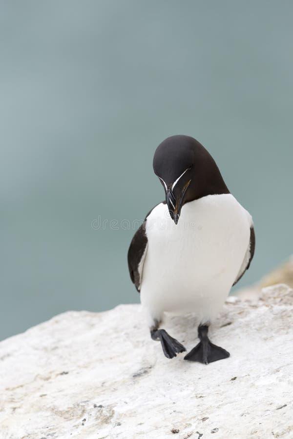 Razorbill Alca torda adult, standing on coastal cliff royalty free stock photos