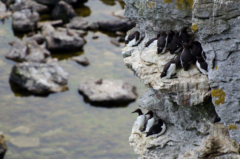 The razorbill Alca torda and the common murre or common guillemot stock image
