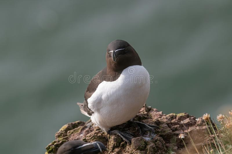 Razorbill Alca Torda perched on the rocks in Scotland. Close up of Razorbill Alca torda on coastal cliff Scotland royalty free stock photography