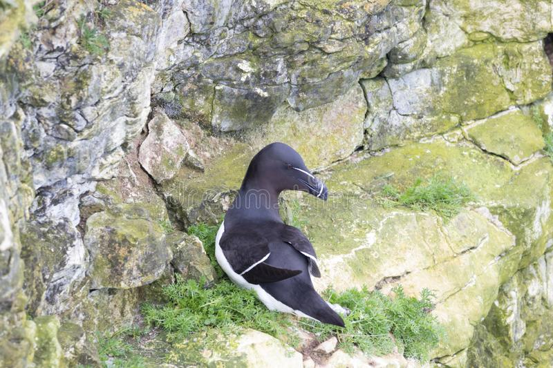 A Razorbill on Bempton Cliffs on the Yorkshire coast in the UK. A Razorbill perched on the cliff face at Bempton Cliffs on the Yorkshire coast in the UK stock images