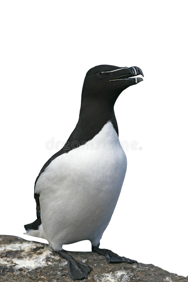 Razorbill, torda do Alca foto de stock royalty free