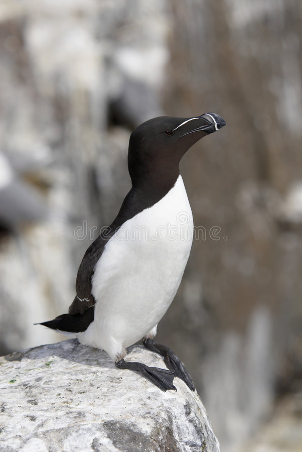 Razorbill272. Razorbill, Alca torda, standing on cliff top, Farne Islands, late May, UK royalty free stock photography