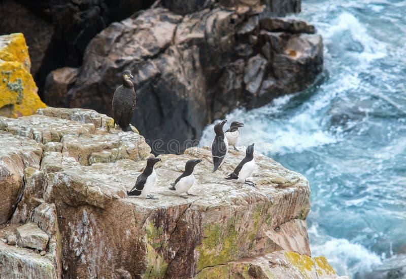 Razorbills y cormorán en rocas en las islas de Saltee fotografía de archivo libre de regalías